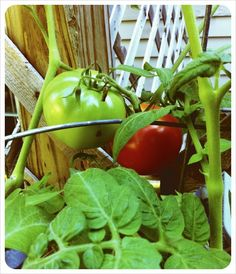 I have southern blood. Growing tomatoes is pretty much de rigueur. Plus, they're delicious. Growing Tomatoes, Blood, Southern, Stuffed Peppers, Vegetables, Pretty, Stuffed Pepper, Vegetable Recipes, Stuffed Sweet Peppers
