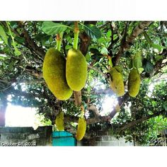 Jackfruit. Hated the smell and taste! But our neighbor had a tree when i was little.
