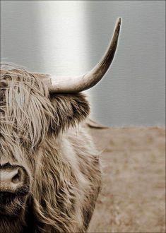 "Produktinformationen ""Scottish Highland Cattle ll (LB cm)"" Scottish Highland Cattle ll (LB cm) Material:Alu tattoo tattoo tattoo calf tattoo ideas tattoo men calves tattoo thigh leg tattoo for men on leg leg tattoo Highland Cow Art, Scottish Highland Cow, Highland Cattle, Scottish Highlands, Cow Wallpaper, Cow Drawing, Baby Cows, Baby Elephants, Fluffy Cows"
