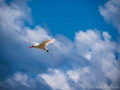 Red Tail Bird, Lady Elliot Island