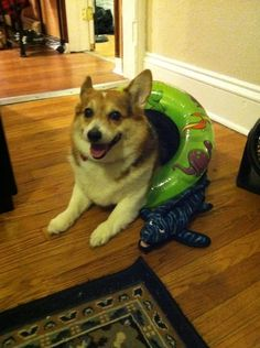 Beach Gear? | Community Post: 15 Perfect Corgis In Halloween Costumes
