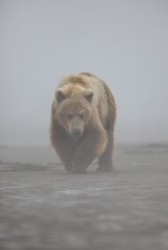 Osos en la niebla