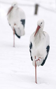 Beautiful storks in snow