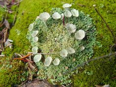 Cladonia fimbriata, trumpet lichen. Notice the cup-like stalks. Photo by Charles Peirce, Michigan Wildflowers.
