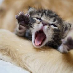 yawning newborn kitten