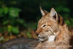 Lynx lynx - lynx summer forest shadow