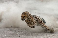 Guepardo el mamifero terrestre mas veloz del mundo.