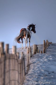 Wild pony on the sand dunes of Assateague Island, Virginia/Maryland ~ photographer Michael Mill #American #beauty