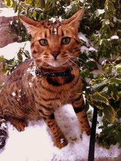 My cat Farrah out in the snow :) #bengal #snow