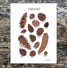 This is a field guide classification chart and features the Pine Cones of North America.  It includes these pine cones:  Bristlecone ,Eastern White ,Jack ,Limber ,Loblolly Lodgepole Longleaf ,Pitch ,Pinyon, and Ponderosa.