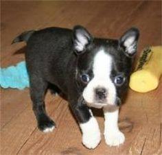 Teacup Boston Terrier, a cutie!