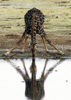 Africa | Drinking giraffe.  Hwange National Park, Zimbabwe | ©Charles A Ray