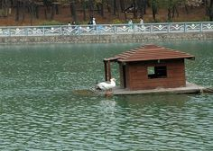 Floating duck house. I wonder if this would help with the predator issue. Seems impossible to keep clean though.