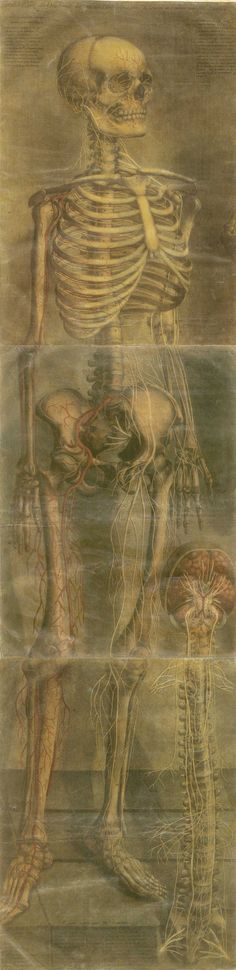 Large color mezzotint of a facing skeleton turned about forty five drees to the right with a brain and spinal cord in the lower right half of the page; Tables 17 and 18 from Jacques Fabian Gautier d'Agoty's Anatomie générale des viscères en situation, Anatomy Art, Human Anatomy, Memento Mori, Illustrations, Illustration Art, Dance Of Death, Danse Macabre, Vanitas, Skull And Bones