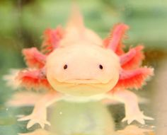 Axolotl. You know you want one.