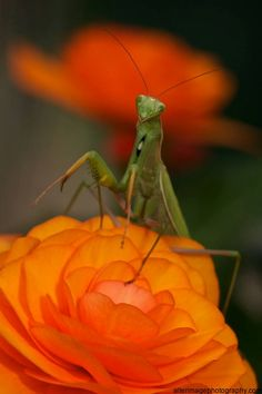 Praying Mantis on Begonia.   A treasured, welcome and favorite site in my garden!