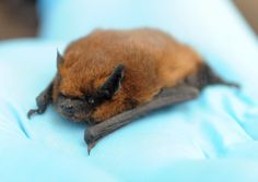 A soprano pipistrelle bat rescued and cared for by Jane Harris, consultant ecologist. Picture: Denise Bradley