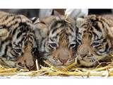 all nestled and snug in their beds Tiger Cubs, Snug, Beds, Animals, Animais, Animales, Animaux, Animal, Cubs