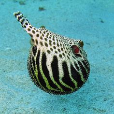 Starry Puffer, when threatened it can swallow water or air to inflate itself..
