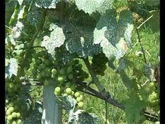 """Ökológiai Intézet - Mit tegyünk a """"kártevőkkel""""? Bionövényvédelem. - YouTube Youtube, Fruit, Garden Ideas, Gardening, Agriculture, The Fruit, Garten, Landscaping Ideas, Backyard Ideas"""