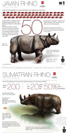 Javan Rhinoceros, Sumatran Rhino, Fun Facts About Animals, Animal Facts, Tiger Species, Rhino Species, Endangered Species, Octopus Vulgaris, Baby Rhino