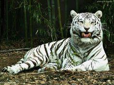 white  tiger  korea