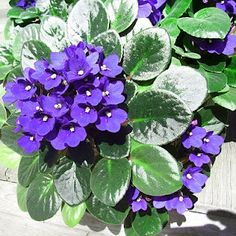 African Violets - wonderful plant for the home, great wealth plant too