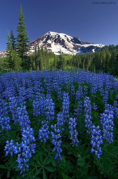 Mount Rainier up against a dark blue backdrop with iridescent blue lupine flowers.
