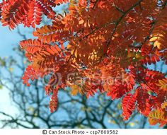 The gorgeous fall colors of the rowan or mountain ash tree, which protects against supernatural evil... or so my characters hope.