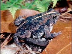 Oak Toad(Anaxyrus quercicus)