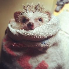 Via Fluffington Post:    Hedgehog Scarves Finally Come to the Gap    Theres no denying it: hedgehogs look good in scarves.  Though scarves long been fashionable among the hedgehog elite, mainstream buyers are starting to take notice.  Clothing retail giant Gap, a favorite among fashion-forward hedgies, has just announced a new line of neck wraps for the tiny mammals. ianhillmedia
