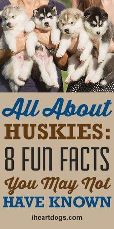All About Huskies: 8 Fun Facts You May Not Have Known