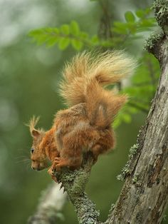Red Squirrel by Jim Frost on 500px