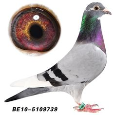 Pigeon Eyes, Racing Pigeon Lofts, Pigeons For Sale, Pigeon Pictures, Pigeon Breeds, Homing Pigeons, Unique Trees, Bird Crafts, Pink Floyd