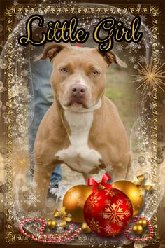 CODE RED - STRAY HOLD EXPIRES 12/19/13 - URGENT LITTLE GIRL is a friendly, adult female Bulldog mix with a chocolate and white coat. She was left in the shelter drop box at Wakulla County Animal Control in Crawfordville, FL. TO rescue or adopt, please email cauzicanfl@gmail.com https://www.facebook.com/photo.php?fbid=588470601229325&set=pcb.588477901228595&type=1&permPage=1