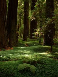 Redwood Forest, Humboldt County, California where we go every October for the Humboldt half marathon!