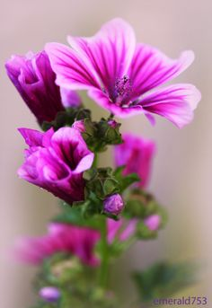 Malva - My very favorite flower...Eva!❤ For The One I Love by *theresahelmer on deviantART