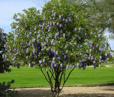 Heat and drought tolerant plants: Texas Mountain Laurel. This does well in the sun and in partial shade.