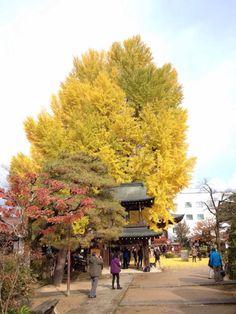 本日11月18日(火)の飛騨国分寺の大イチョウの様子です。  大イチョウの紅葉は、散り方から察するに本日18日と明日19日(水)までです。 (20日も見れると思いますが、かなり寂しい状態だと思います。)  今いらっしゃれば『ちびくろさんぼ』の「トラが溶けちゃって地面がまっ黄色!」が体験できます!!  ぜひ飛騨国分寺へ大イチョウをご覧にいらしてください。  #takayama #japan #日本 #高山#natural #自然 #ナチュラル #outdoor#autumn #autumnleaves#紅葉 #gingko #observation #observe #飛騨国分寺の大イチョウ #イチョウ #銀杏 #巨樹 #秋 #巨木