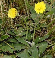 Hieracium pilosella by urjsa.