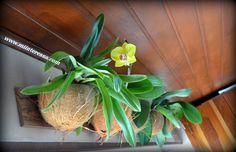 Mi interessa: Usando Vasinhos de Casca de Coco para Plantar Orqu...
