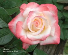 'Gemini ' Rose Photo