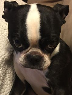 """This is our Boston Terrier Phoebe's, """"I know you love cuddling me and telling me that I am SOOO pretty, but **heavy sigh** I was sleeping"""", face."""