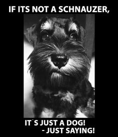 Miniature Schnauzer's are the best!