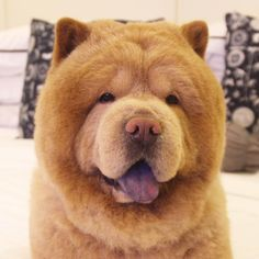 Chowder The Bear Dog A Chowchow From The Philippines Photo By