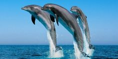 Dolphin Fish Hd Wallpapers | Wallpapers Top 10