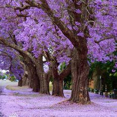 Grafton NSW Australia. A glorious sea of purple carpet.