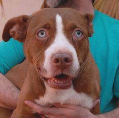 Baby Girl adores cats and loves being a sister to them!  She is also good with children and reportedly housetrained.  She likes most dogs too.  Baby Girl is a blue-eyed Bully mix with red & white coloring, about 5 years of age, spayed, and debuting for adoption today at Nevada SPCA (www.nevadaspca.org).  She loves playing in water, so a sprinkler toy and/or small wading pool will give her great excitement.