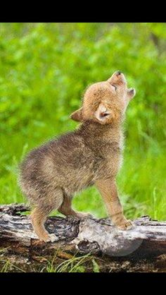 Big howl, little wolf