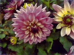 A digital watercolor of some Chrysanthemums.